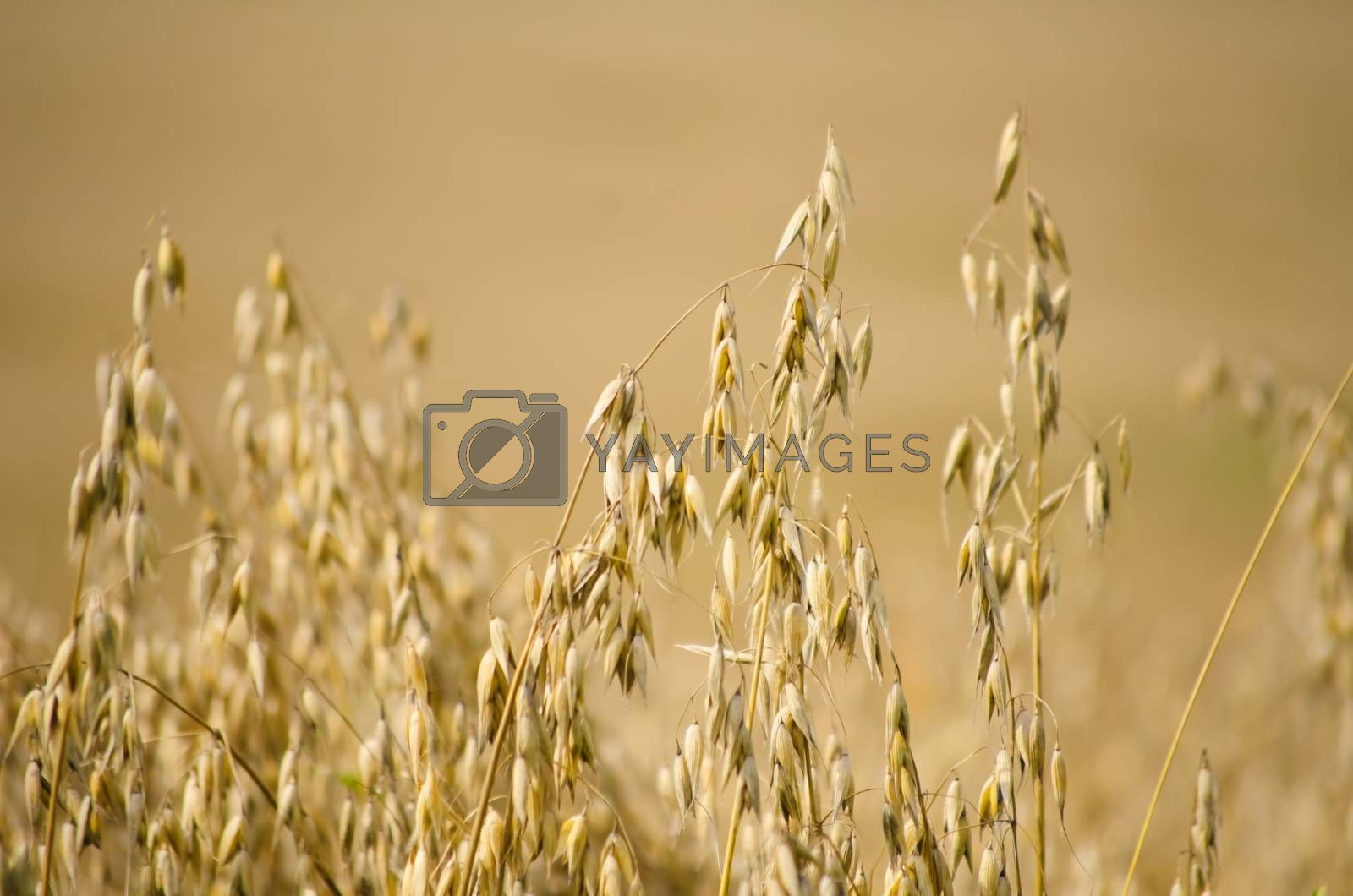 Royalty free image of Oat Field by razvodovska