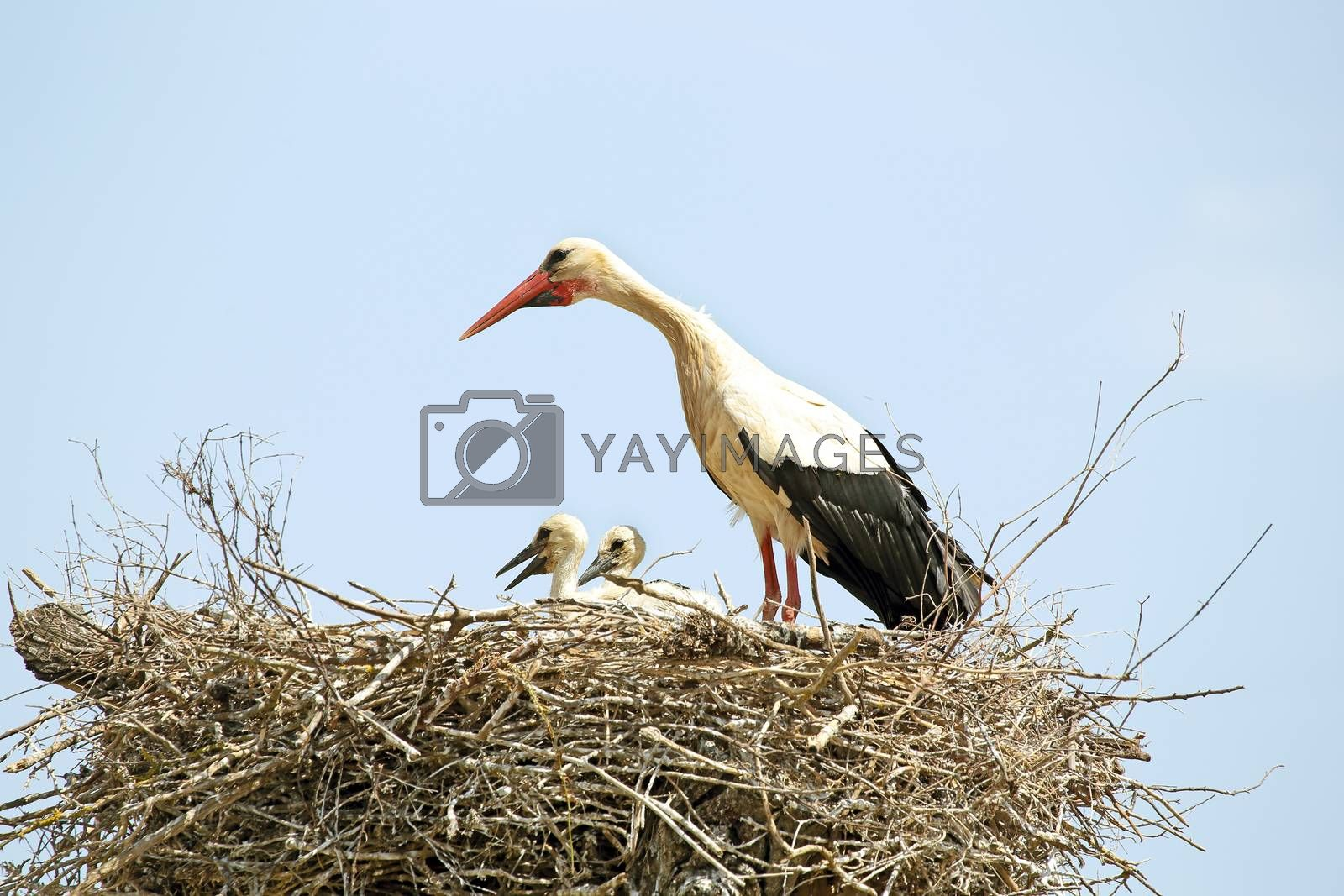 White stork with her babies on the nest