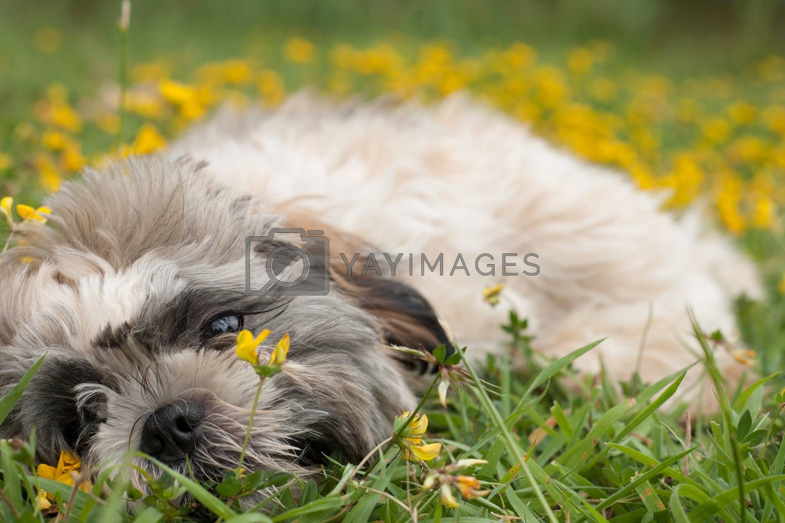 Little puppy in a field of buttercups