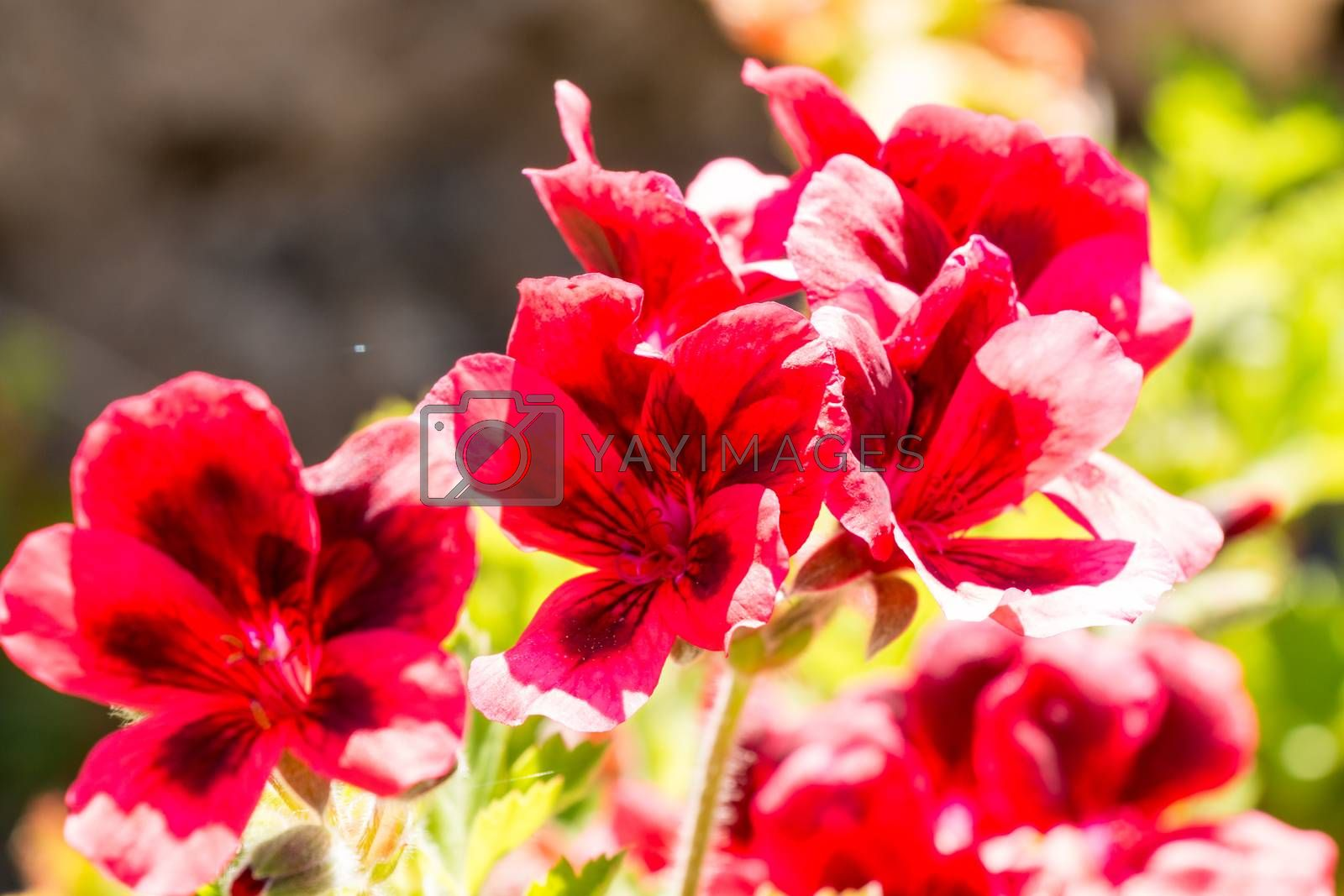 Red flowers with black spots