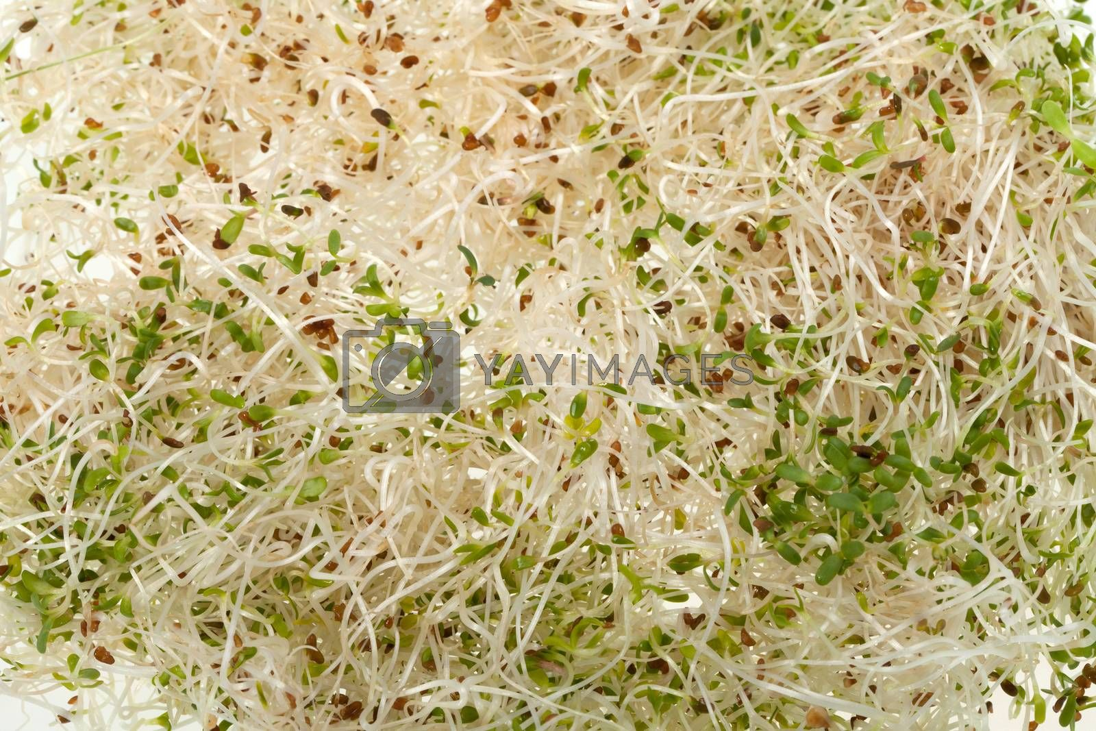 The healthy diet. Fresh sprouts isolated on white background