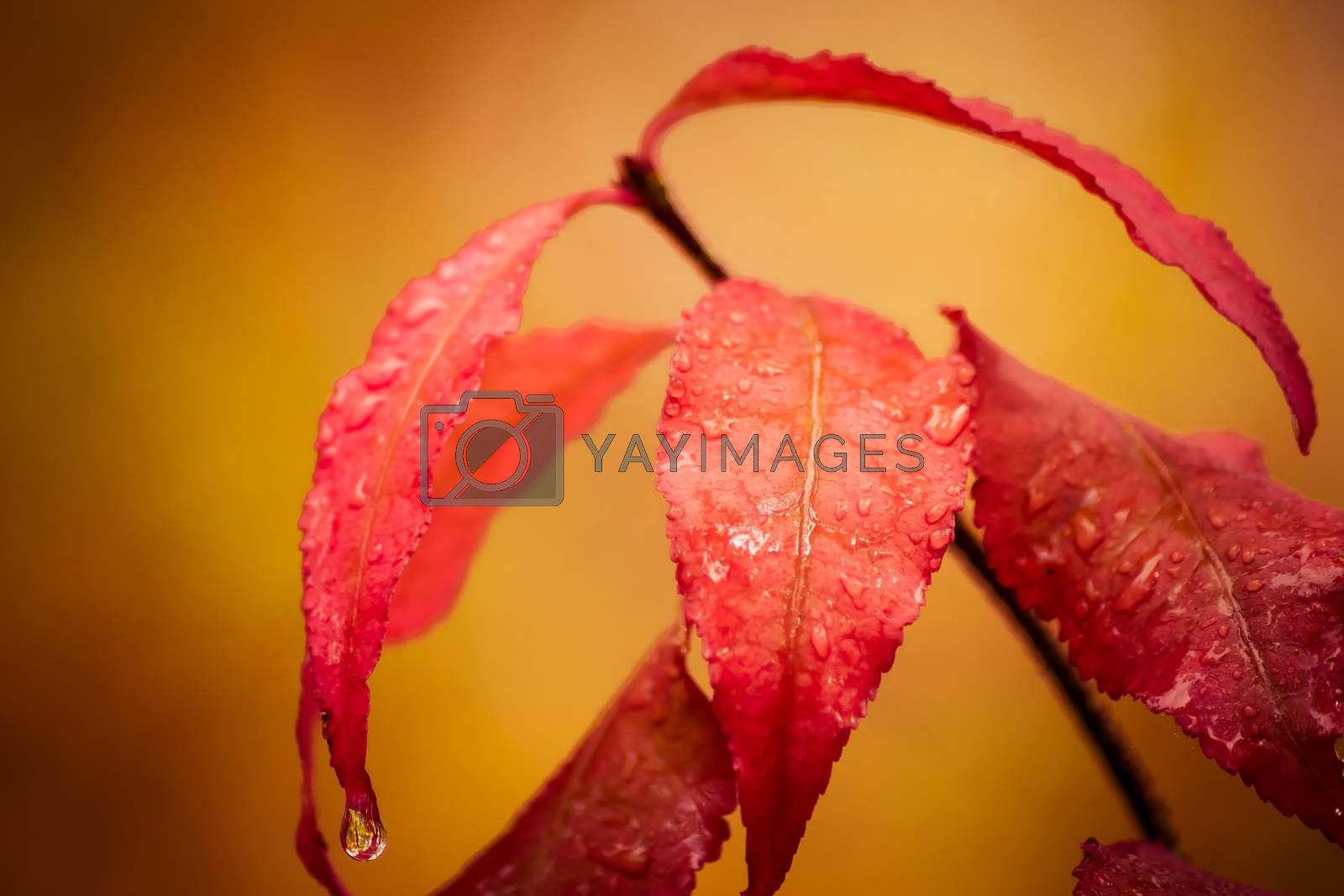 Red wet leaves on a bush background autumn forest