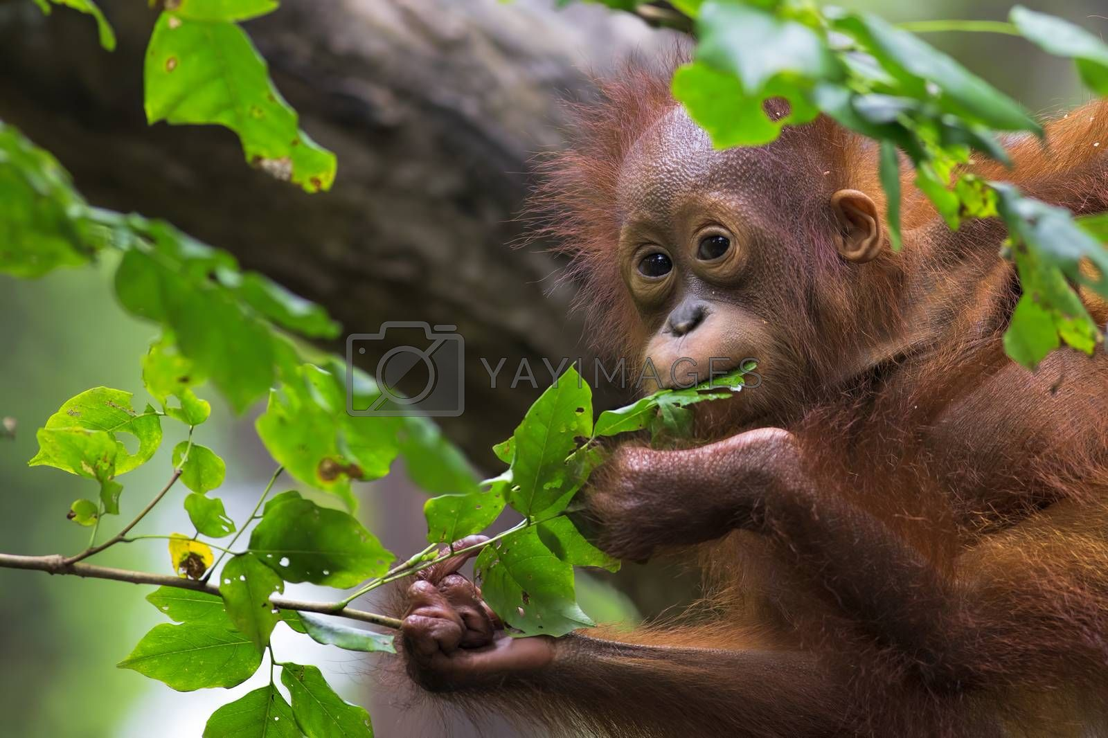 Royalty free image of Borneo Orangutan by kjorgen