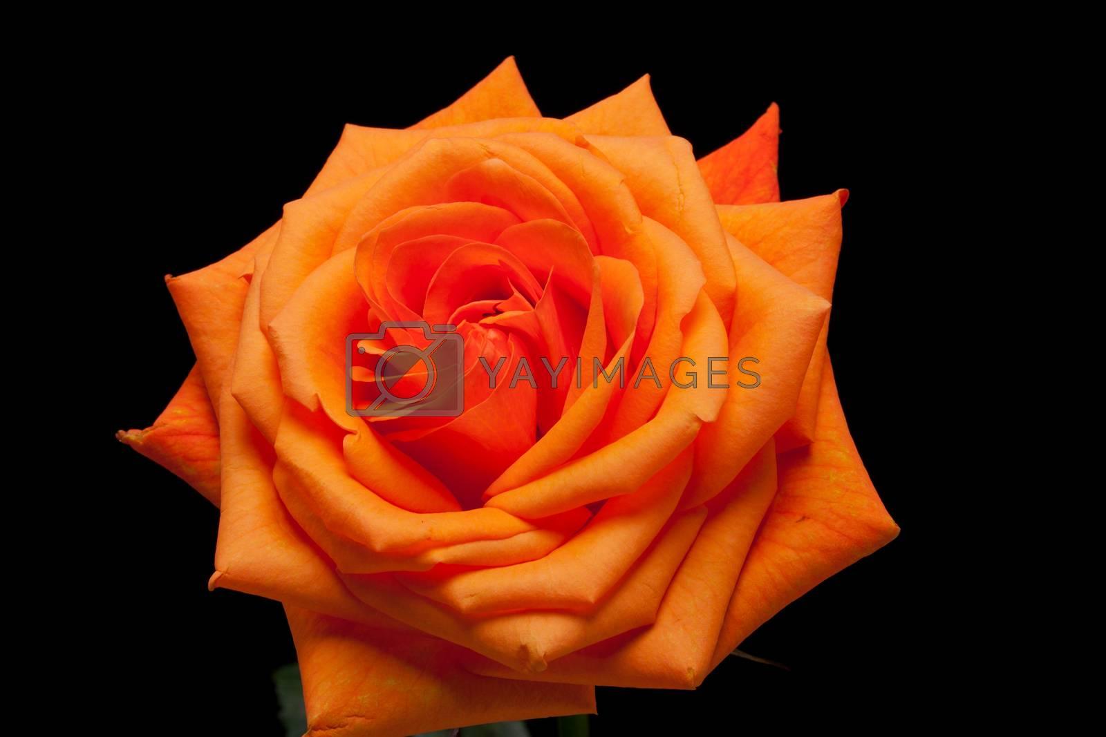 Close up image of single orange rose
