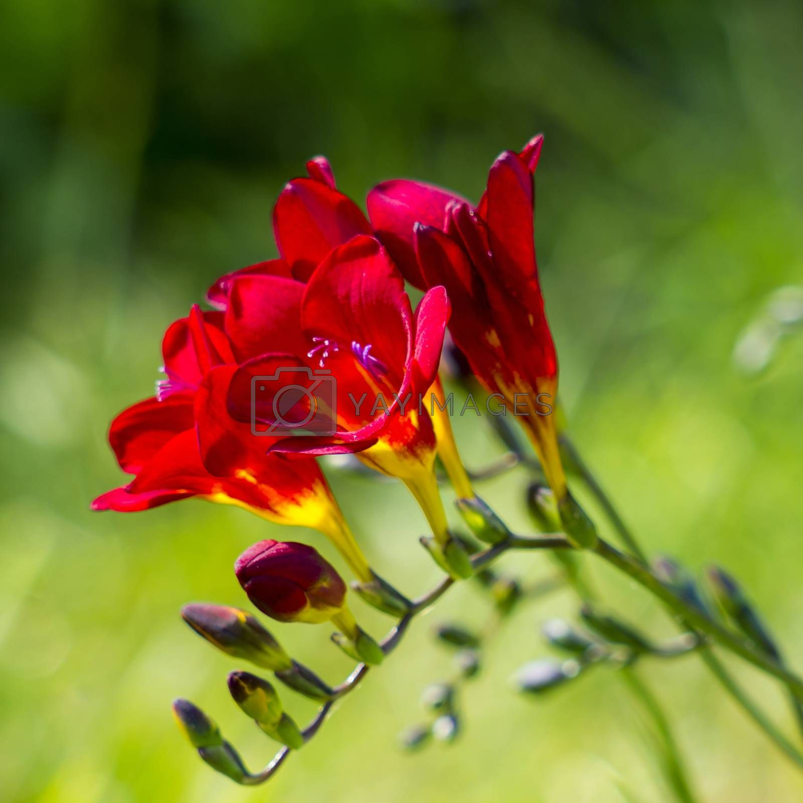 red freesia in the garden