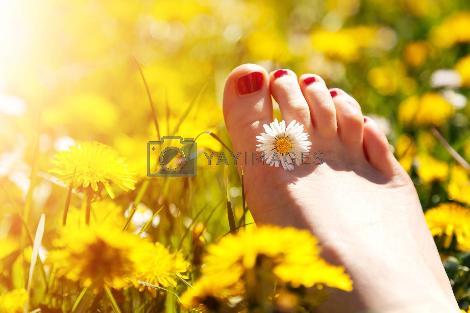 Royalty free image of Foot of a young woman with a spring flower in fingers lying on sunny meadow. by photocreo