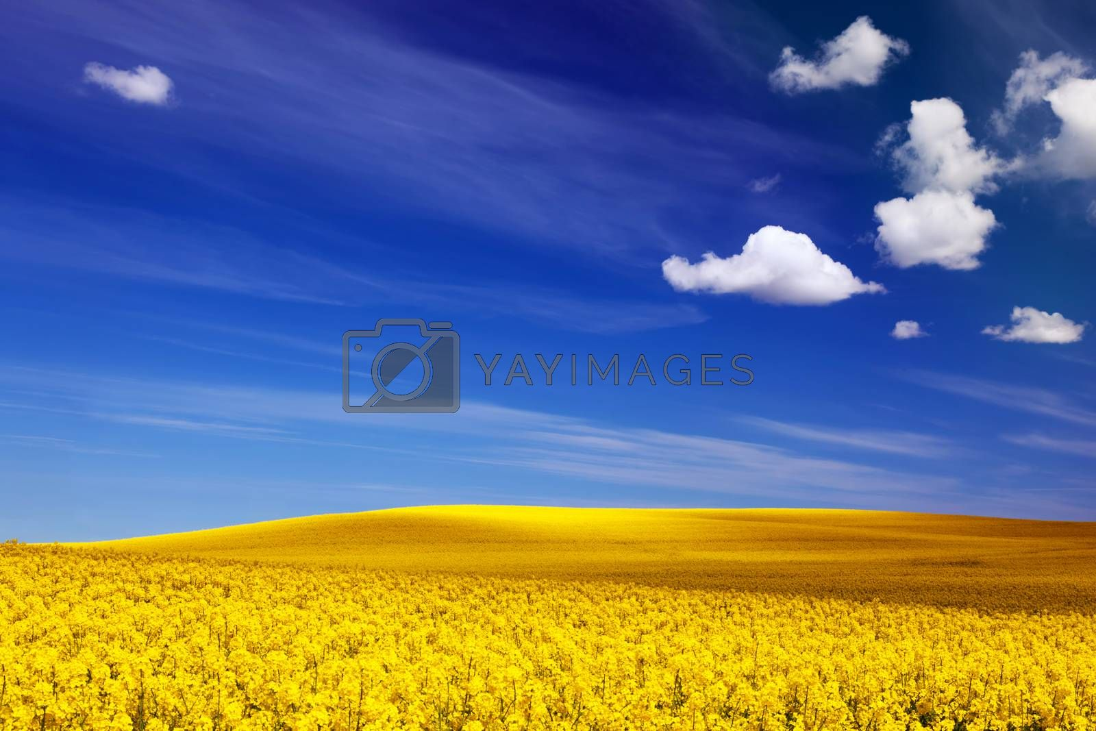 Royalty free image of Spring field, landscape of yellow flowers, rape. Blue sunny sky. by photocreo