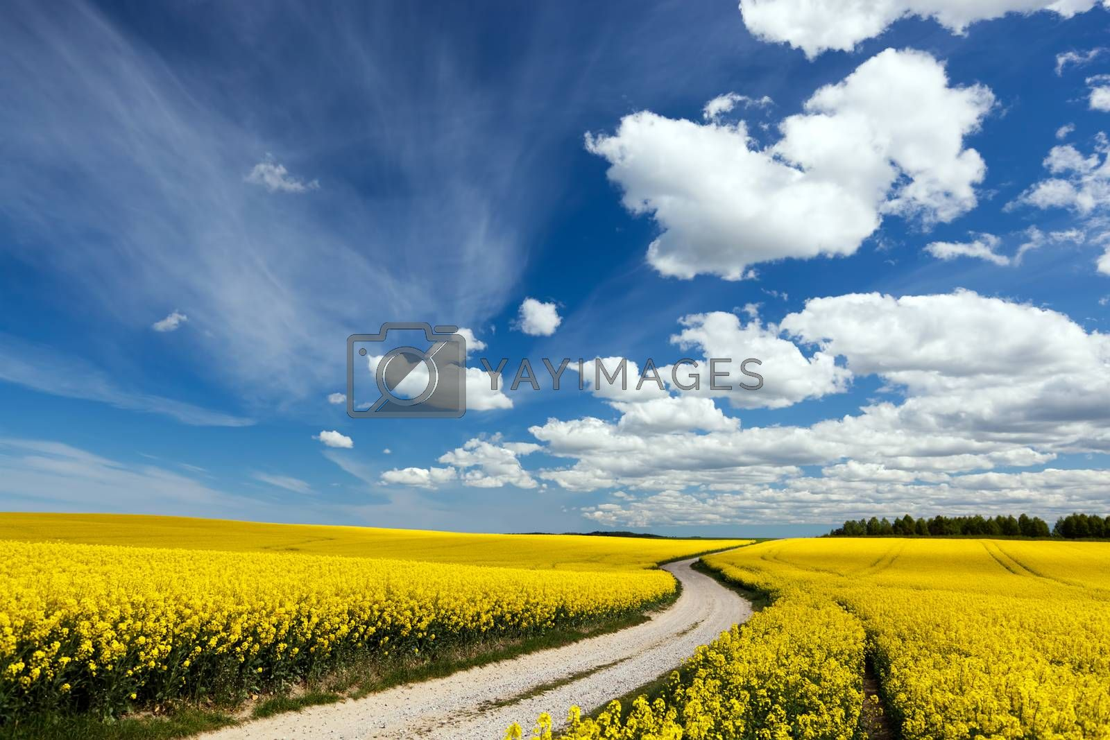 Royalty free image of Country way on spring field of yellow flowers, rape. Blue sunny sky by photocreo