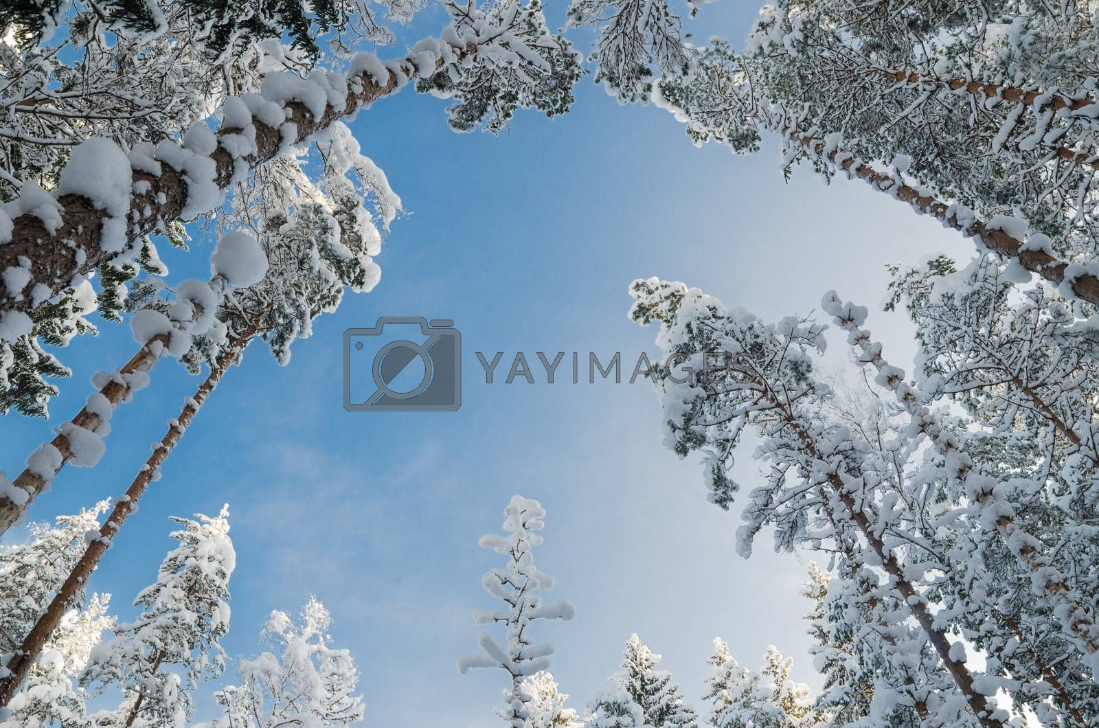 Royalty free image of Winter snow covered trees against the blue sky. Viitna, Estonia. by breeze09