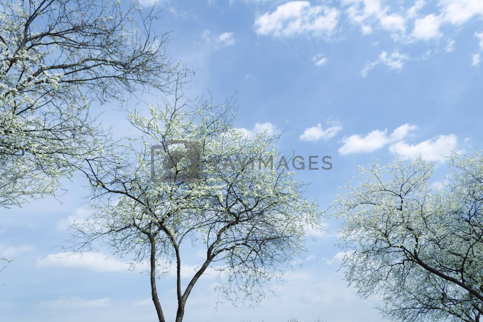 beautiful blossom cherry trees over blue spring sky background