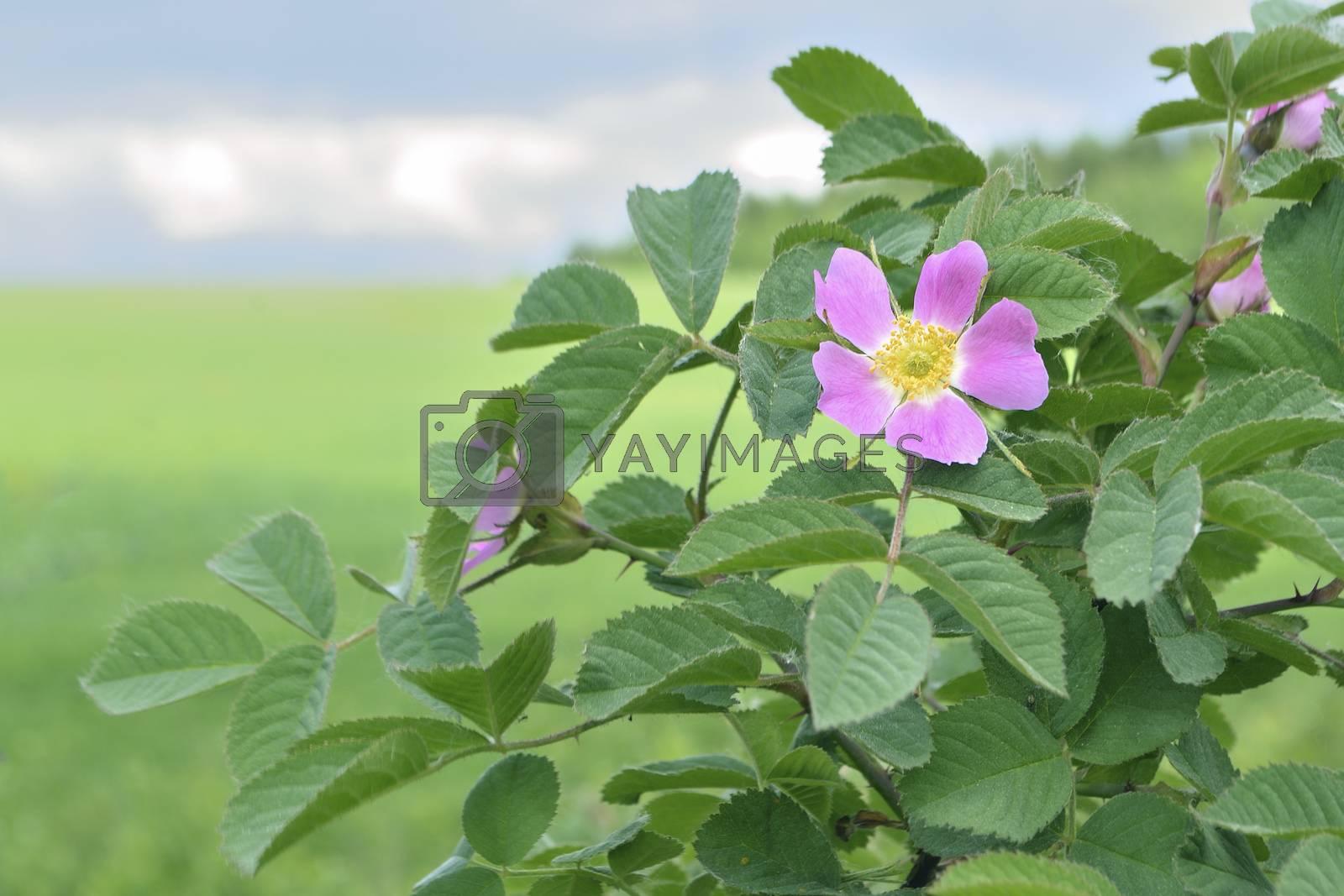 prickly wild rose bush with blossom flower; focus on flower