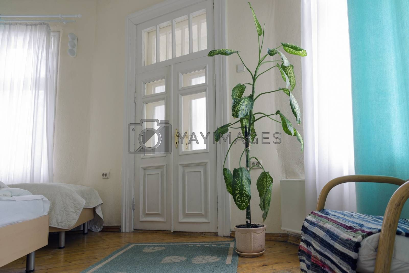 classic interior with big green plant in floor pot