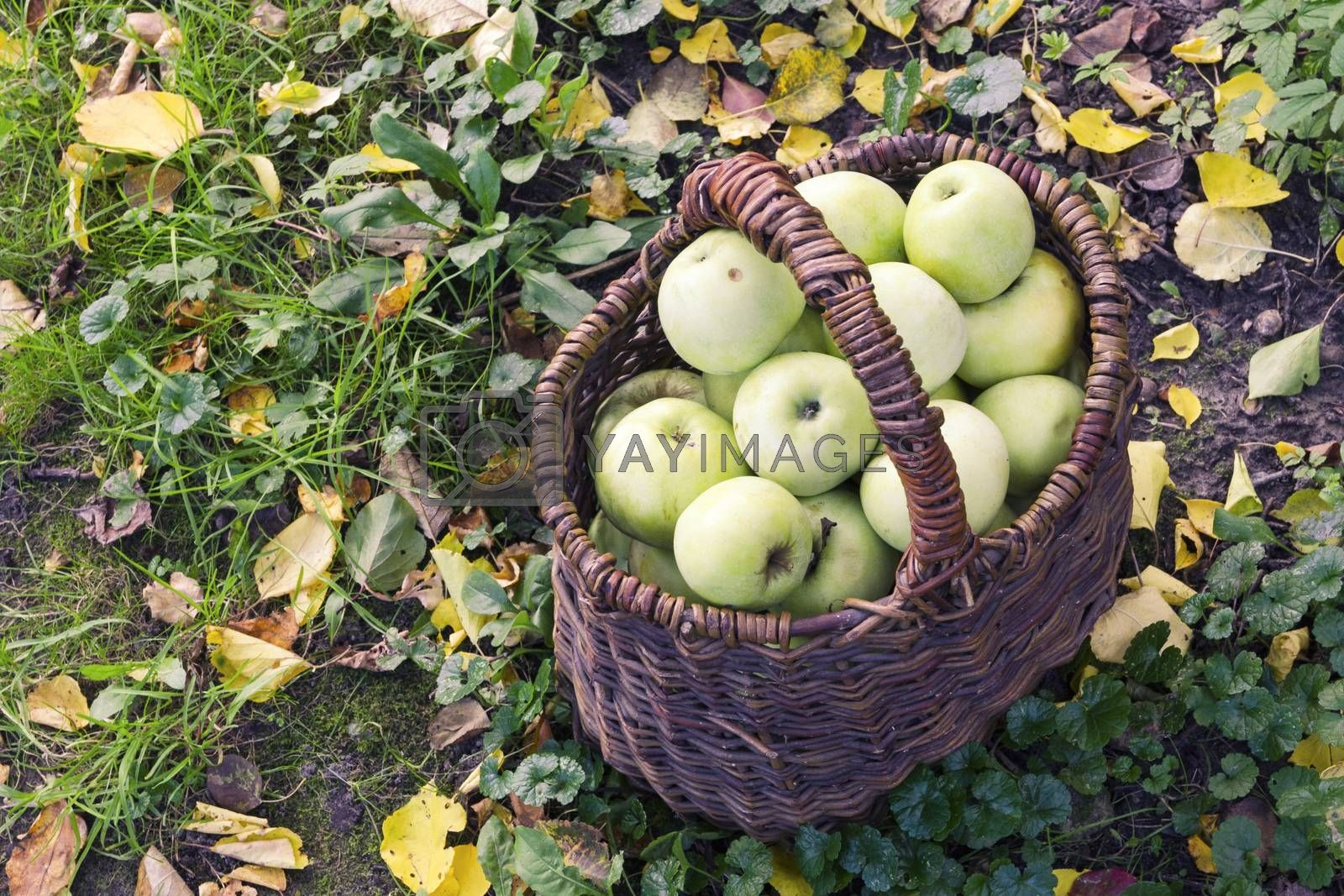 nice green apples inside vintage wooden basket with autumn leaves around