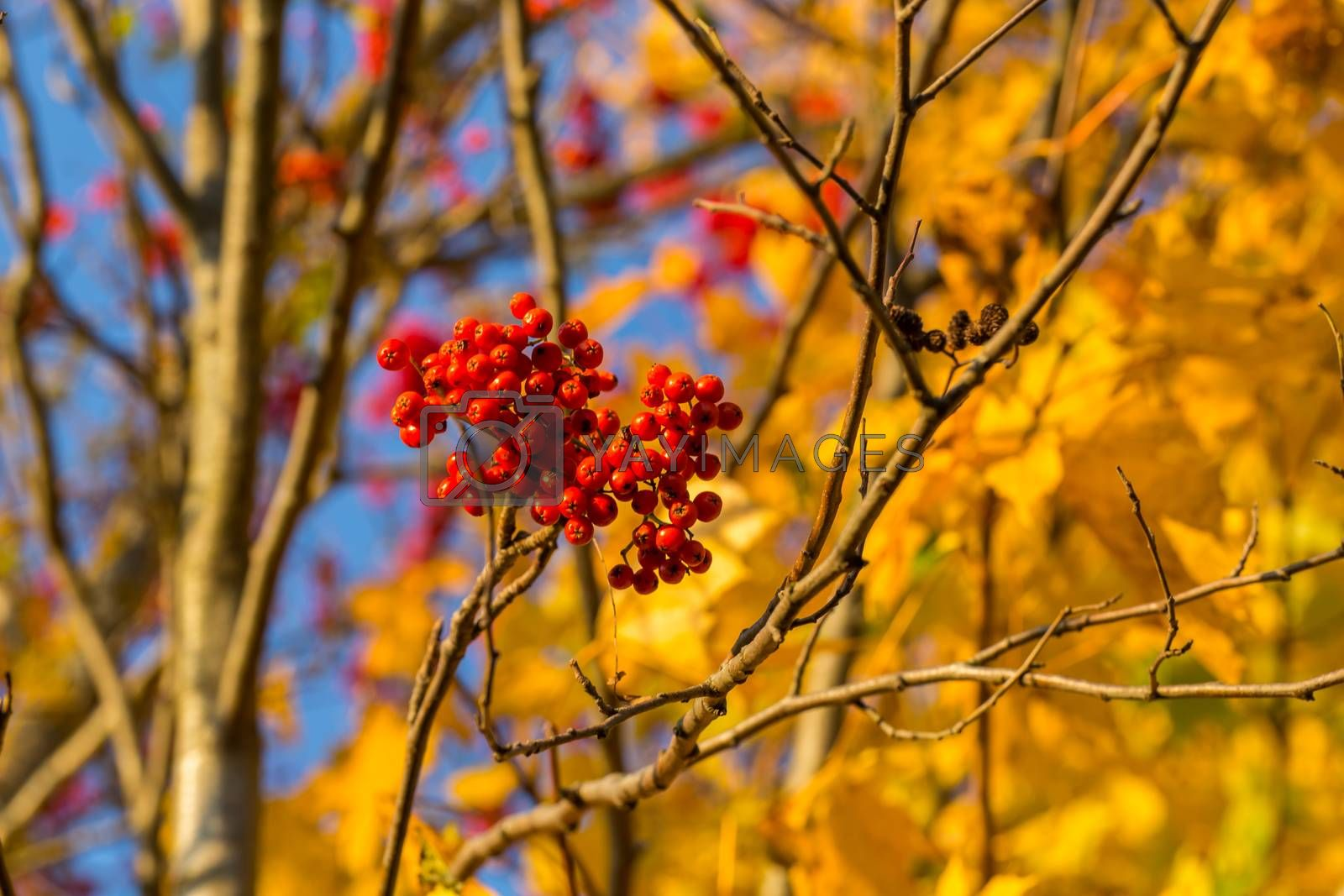 Rowan in autumn with yellow leaves at the back