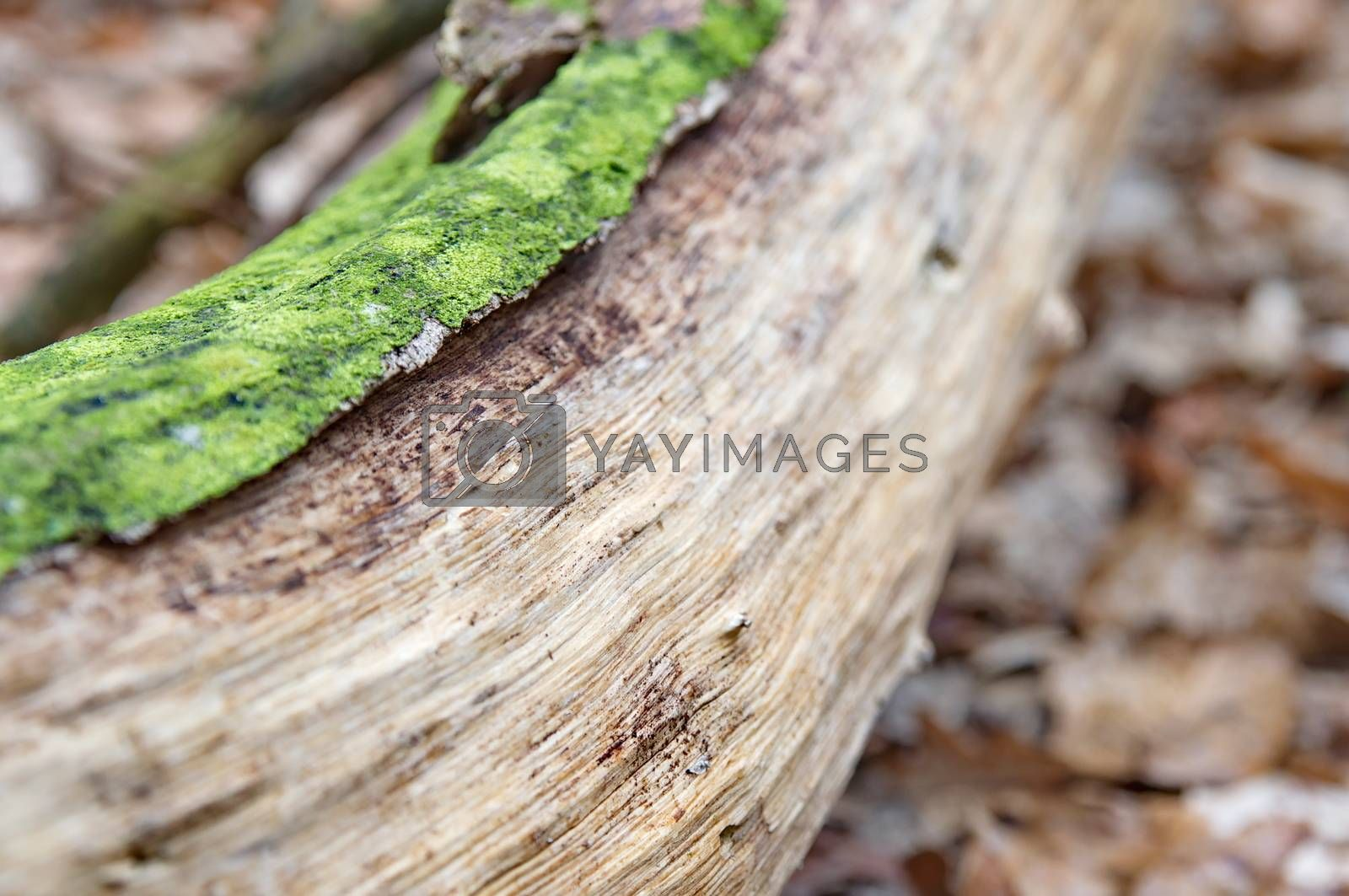 Log with green moss in the woods