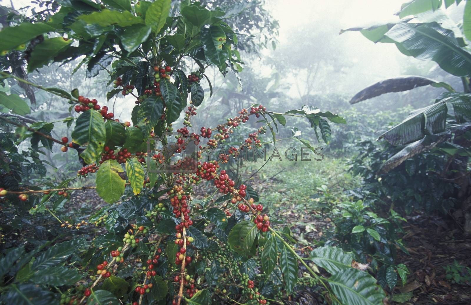 a tropical Forest up the hills of the city Copan in Honduras in Central America,
