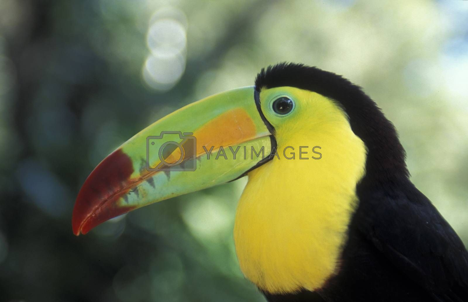 Tropical Birds in the town of Copan in Honduras in Central America,
