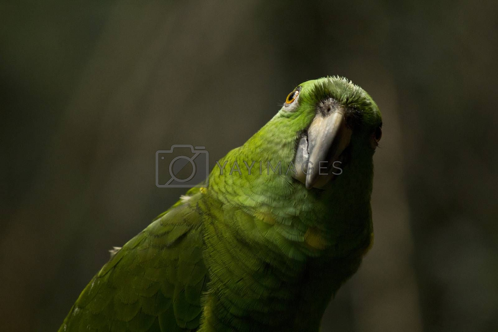 Green parrot looking at camera. Funny animal picture.
