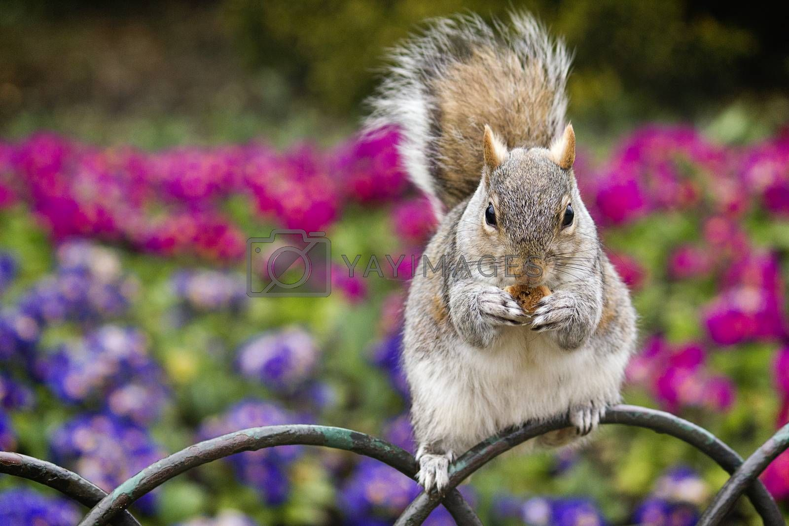 Squirrel eating food in Hyde Park, London, with a colourful backgrounds of flowers.