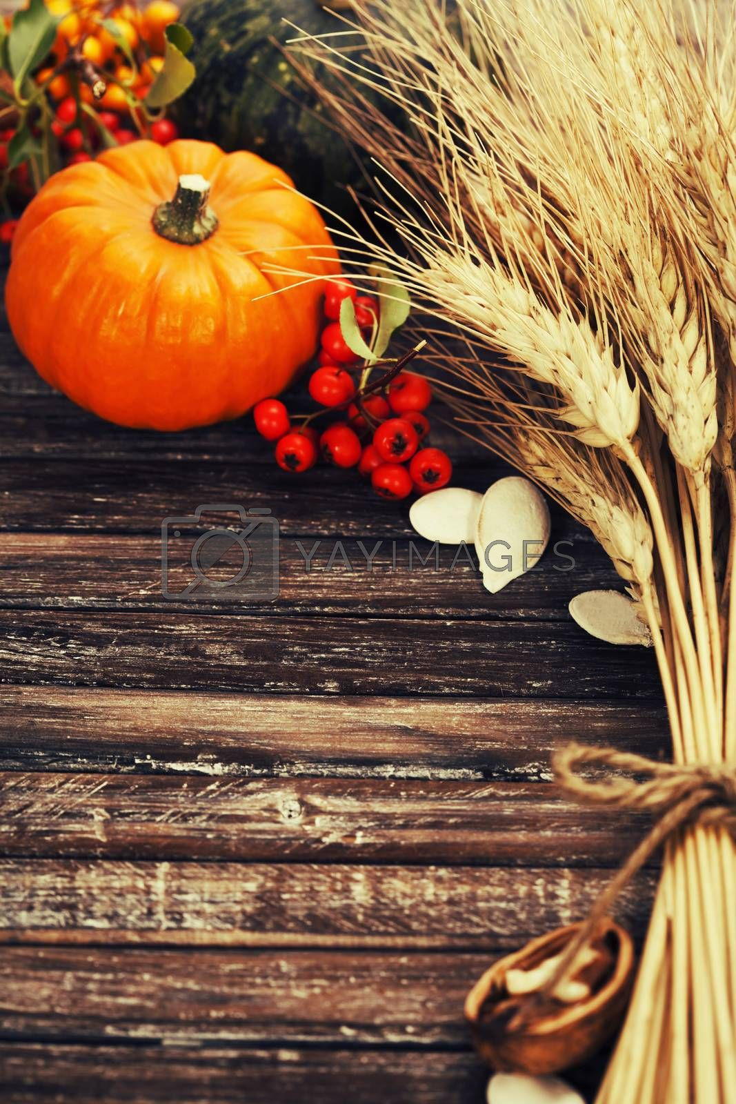 Autumn composition ( pumpkins, wheat and corn on old wooden table). Thanksgiving day concept