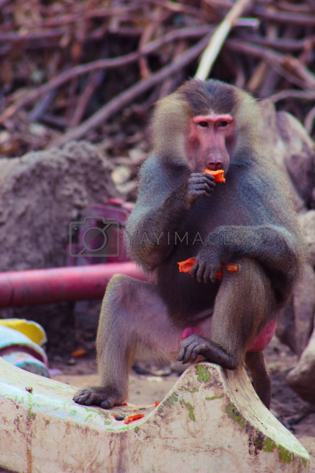 Baboon Monkey chilling by BassemAdel