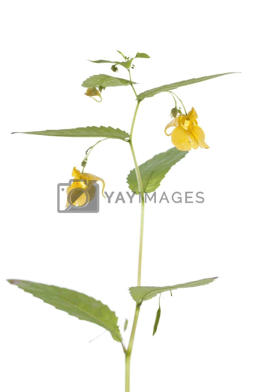 yellow flower (Impatiens noli-tangere) on white background