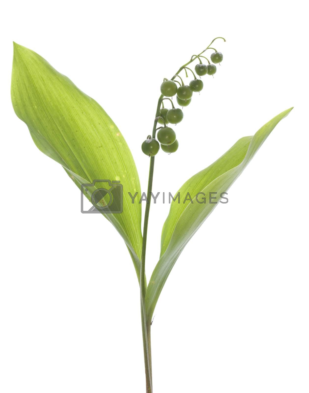 lily of the valley with leaf and fruits
