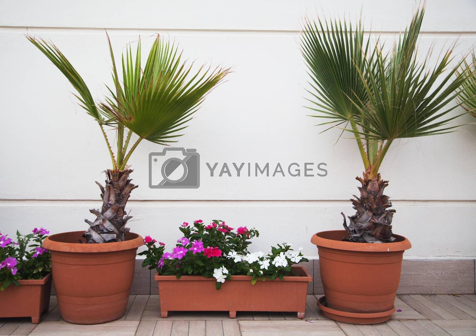 Two decorative palms and flowers in pots