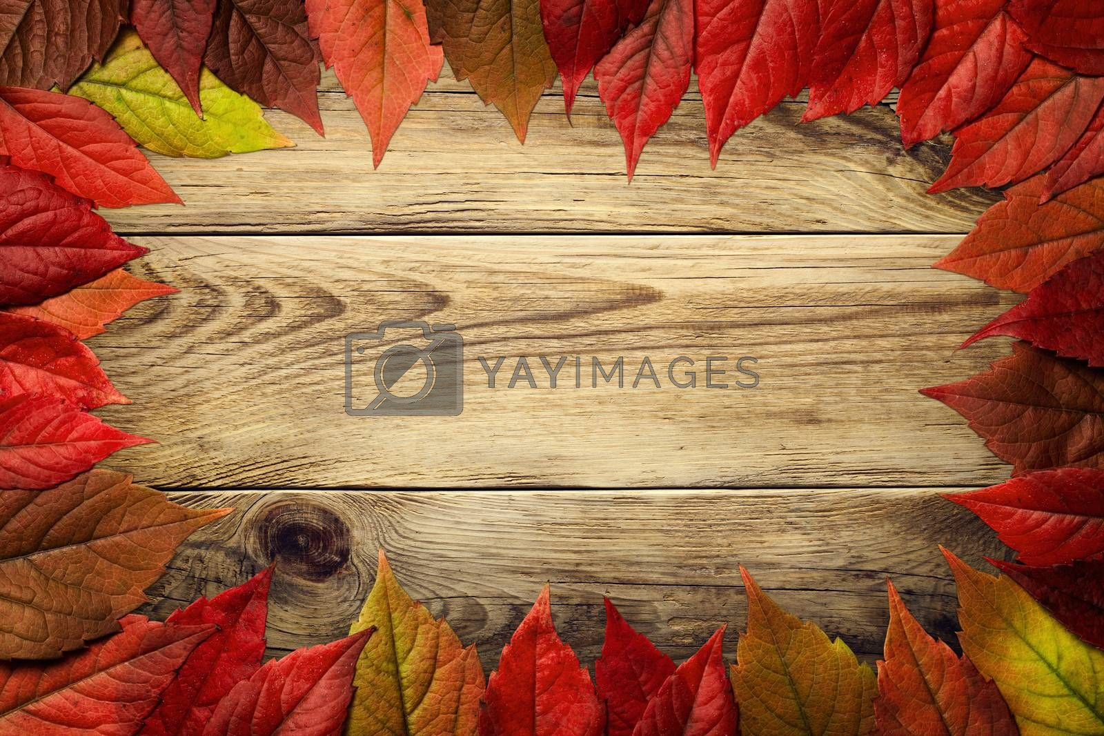 Autumn leaves frame on wooden background. Virginia creeper leaves. Top view