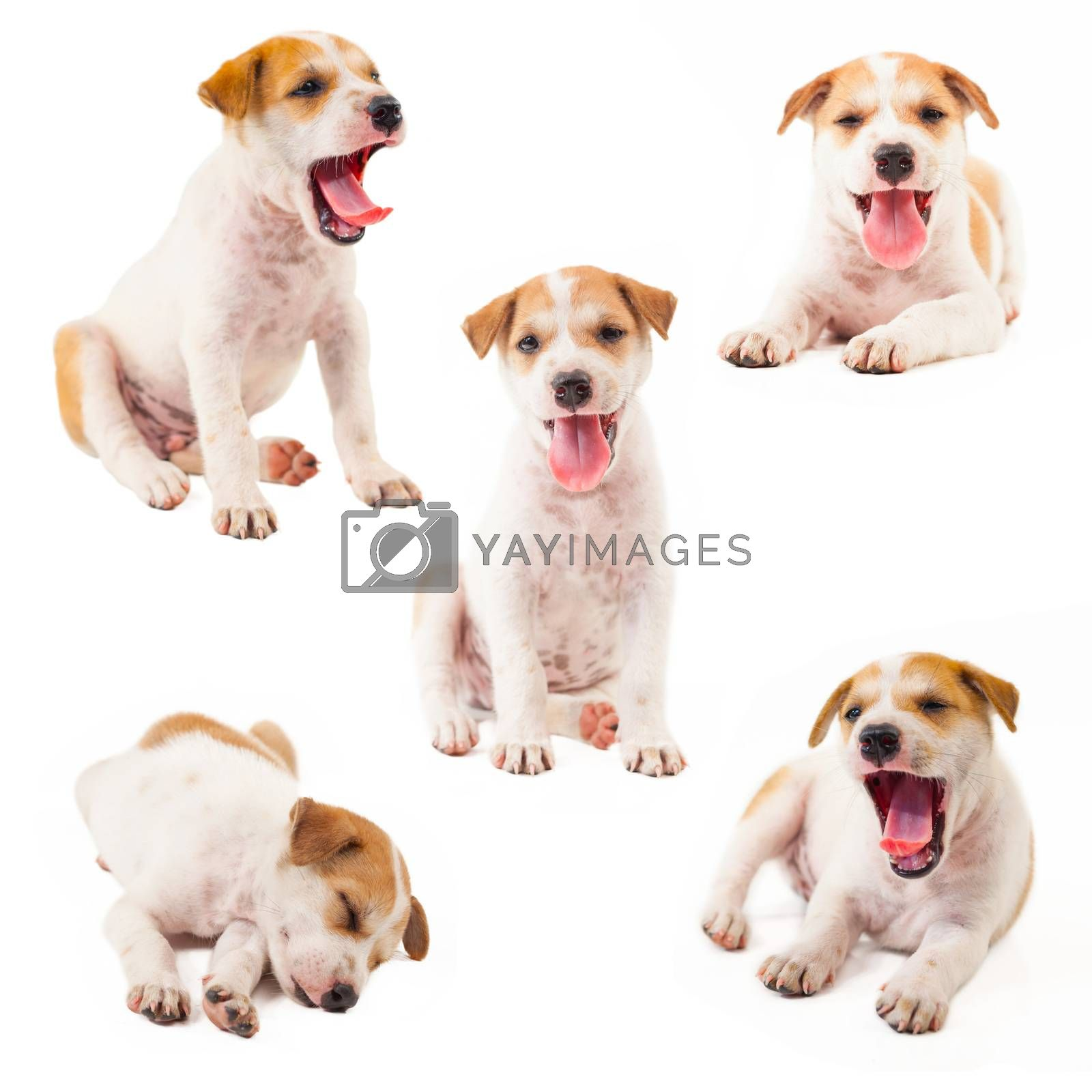 Puppy Dog collection showing tongue isolated on white background