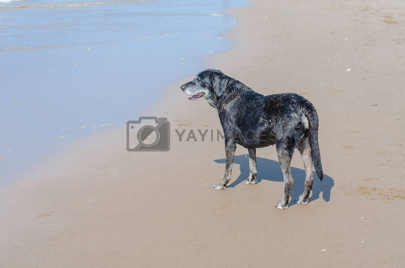 Black dog is on a beautiful beach standing.  In the background the blue sea.  The dog looks like hypnotized in the waves.