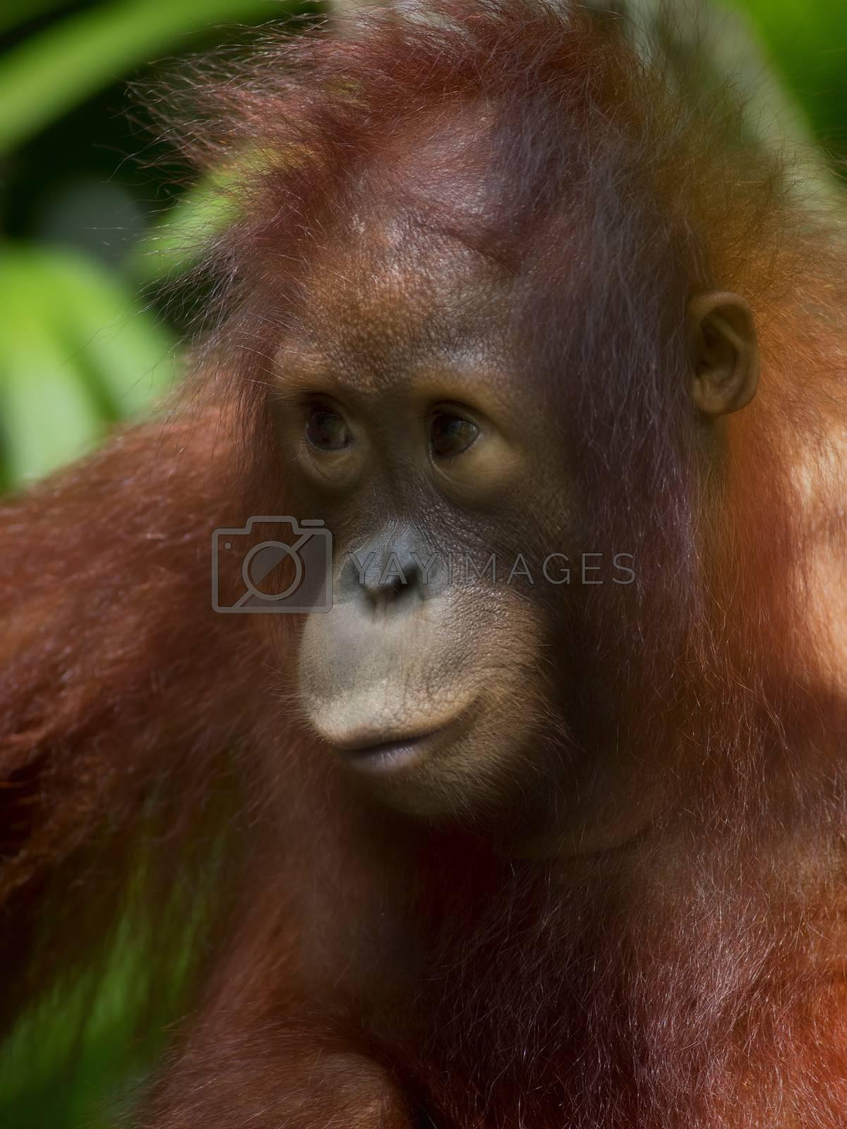 Royalty free image of Borneo Orangutan by kjorgen