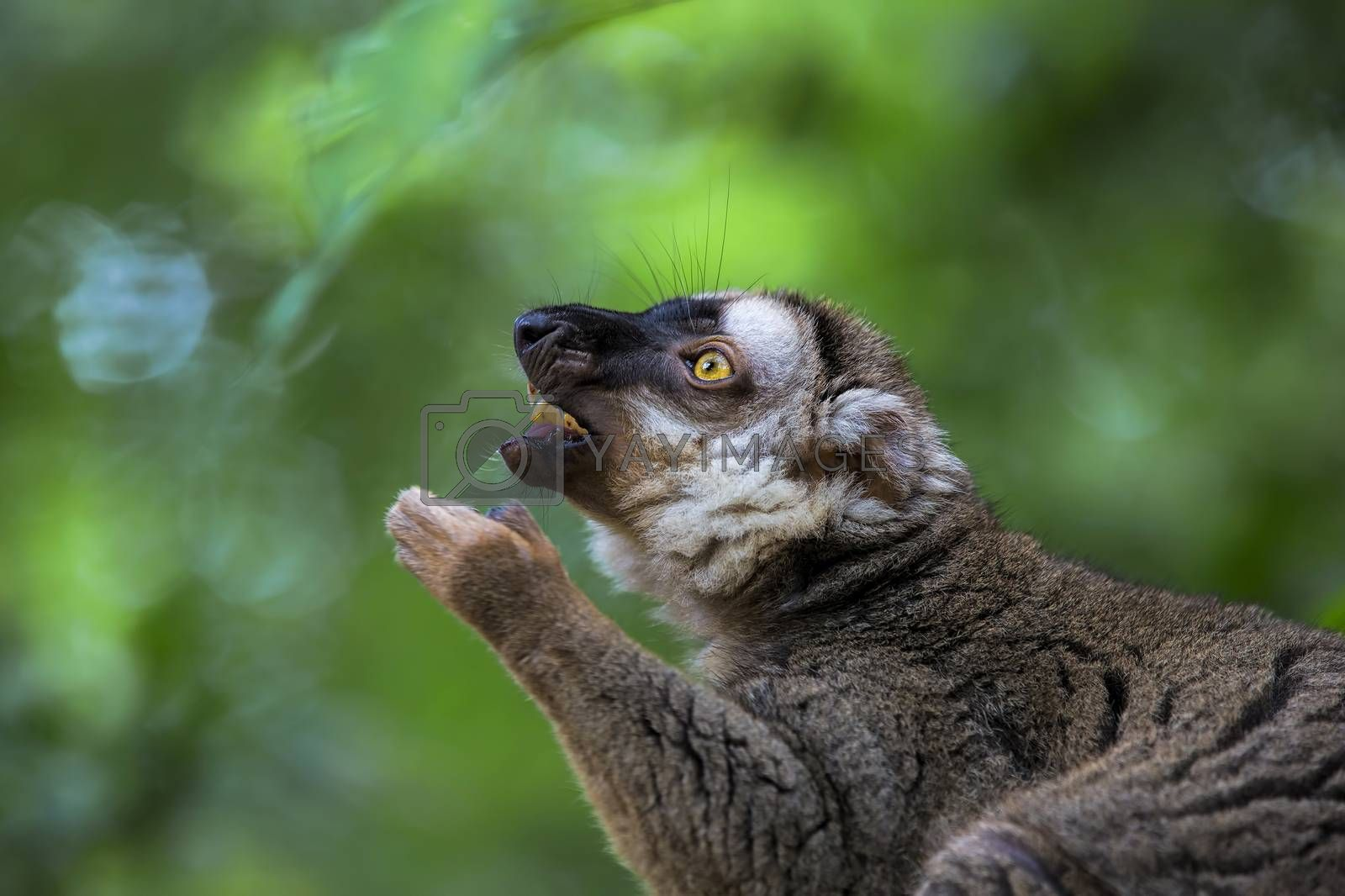 A ring-tailed lemur in the forest of Madagascar