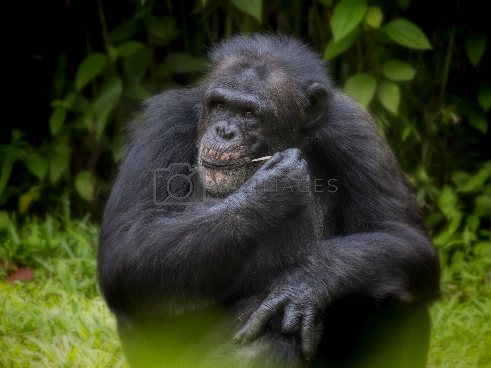 Royalty free image of Common Chimpanzee by kjorgen