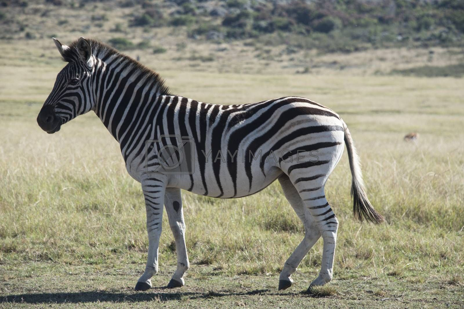 Close up of a zebra standing in a field, South Africa