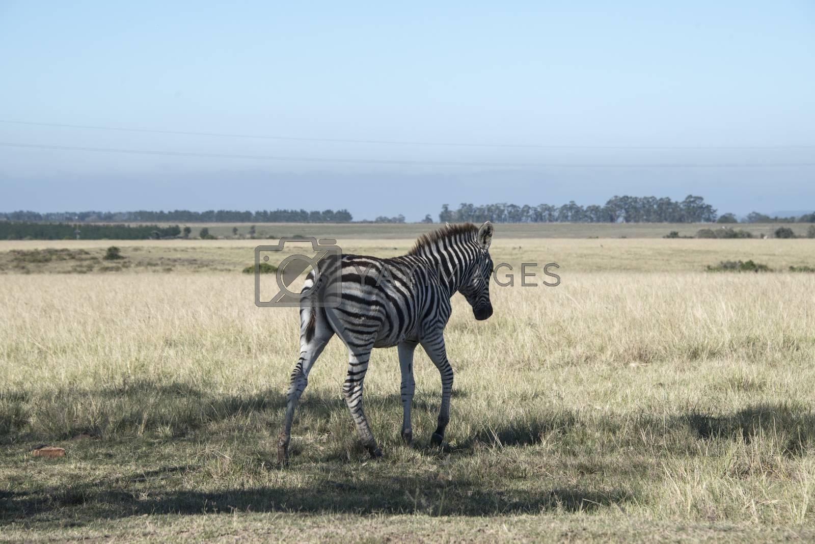 A young zebra walking across a plain, South Africa