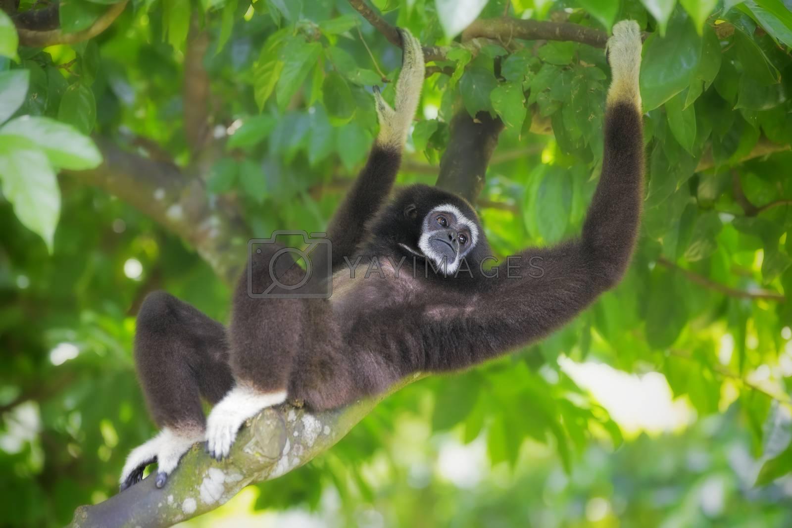 Gibbon monkey in Kota Kinabalu, Borneo, Malaysia