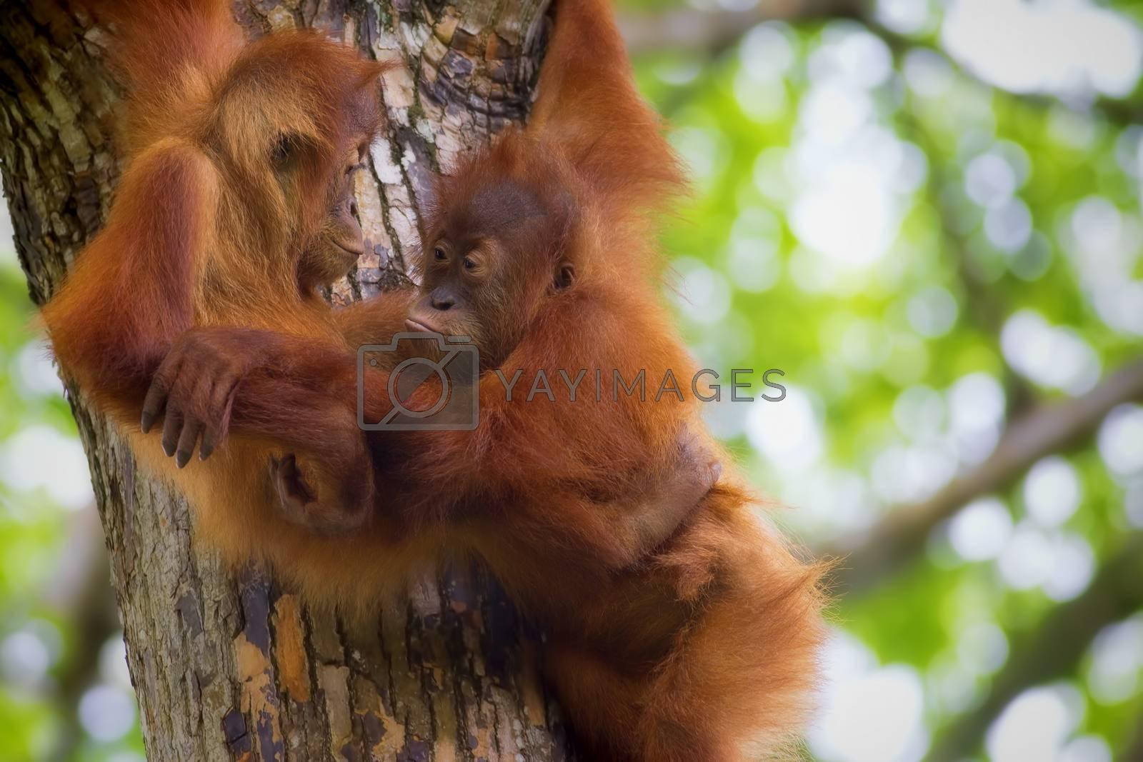 Royalty free image of Borneo Orangutans by kjorgen