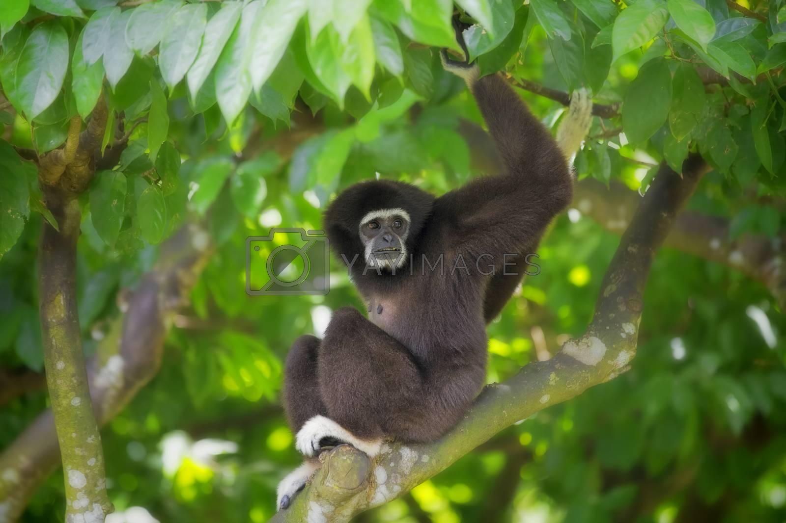 Royalty free image of Gibbon Monkey by kjorgen
