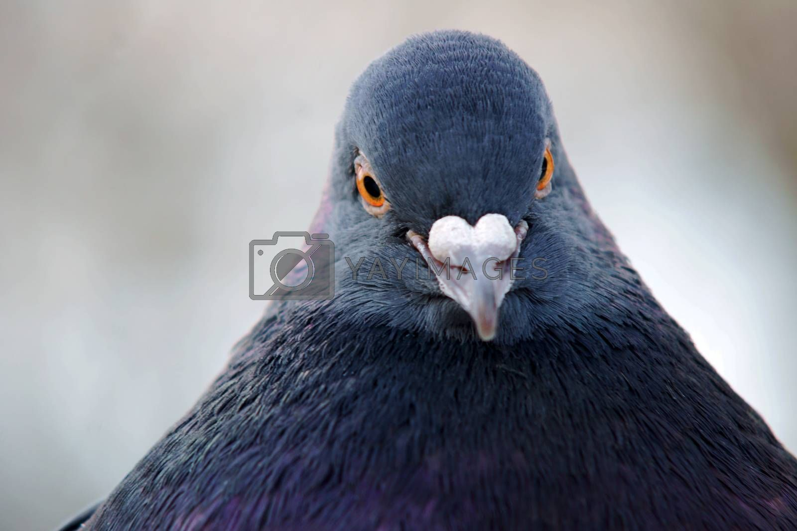 Portrait of a gray pigeon by gkordus
