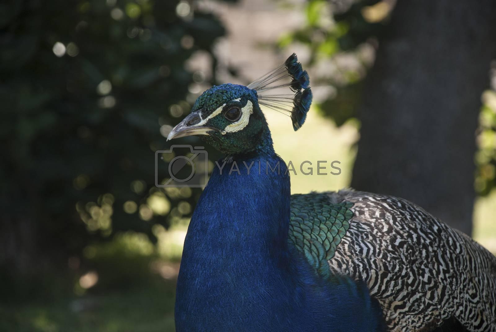 A peacock walks around a garden, South Africa