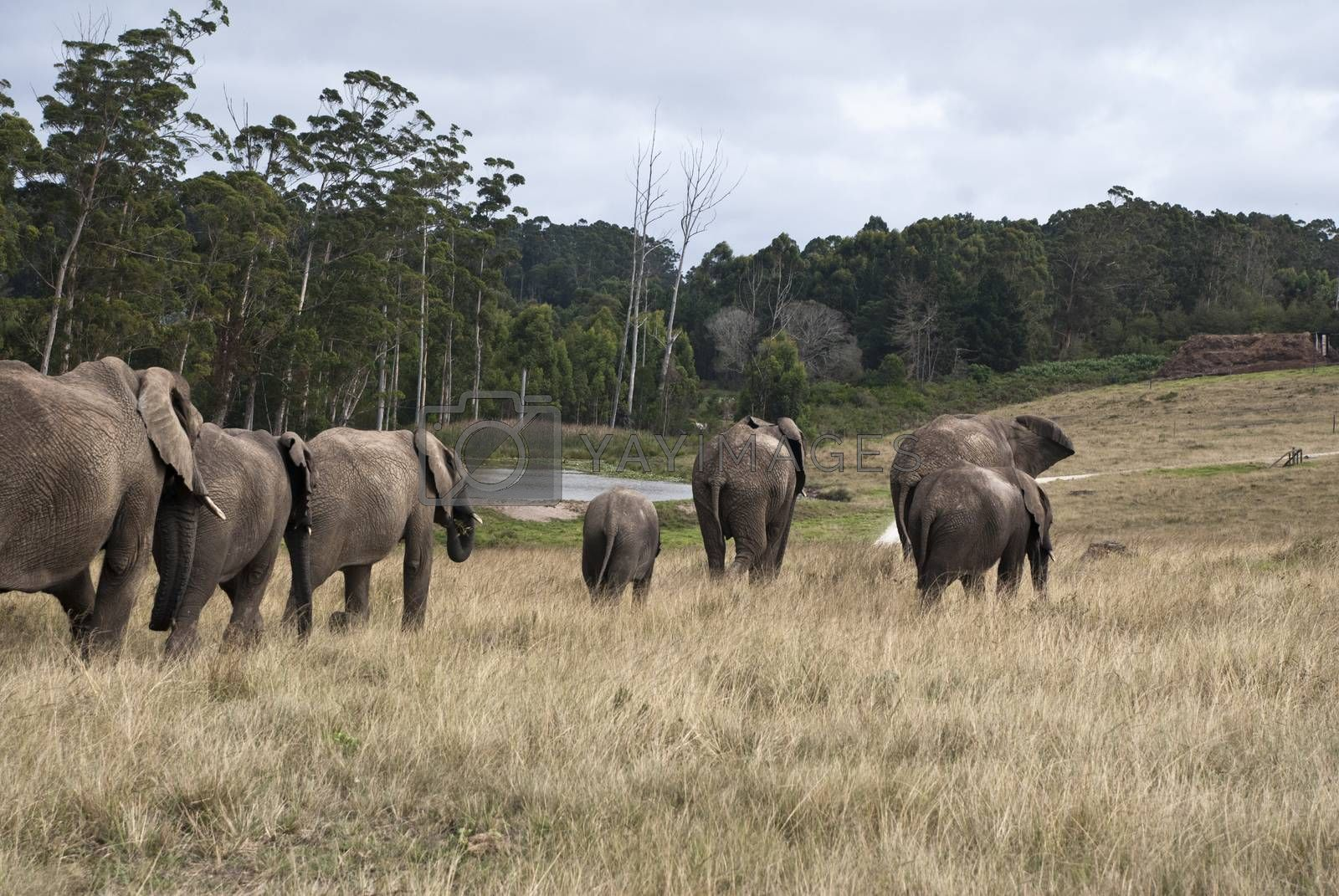 Herd of elephants walking in a game reserve, south africa by Anna07