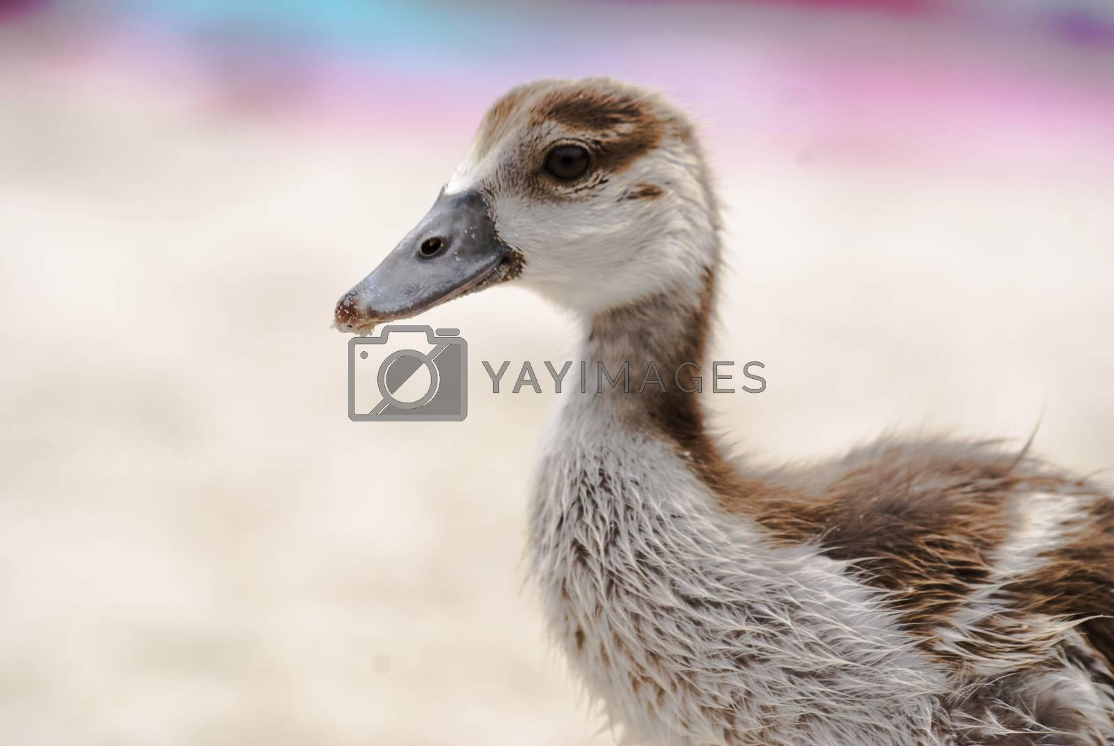 A close up of an Egiptian gosling