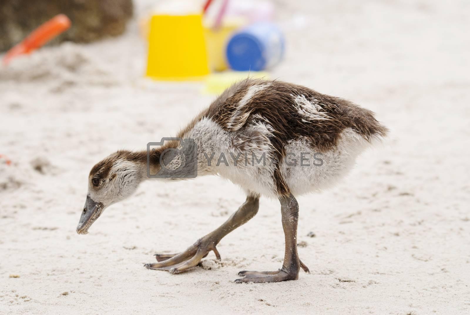 An Egyptian gosling pecks around a public beach