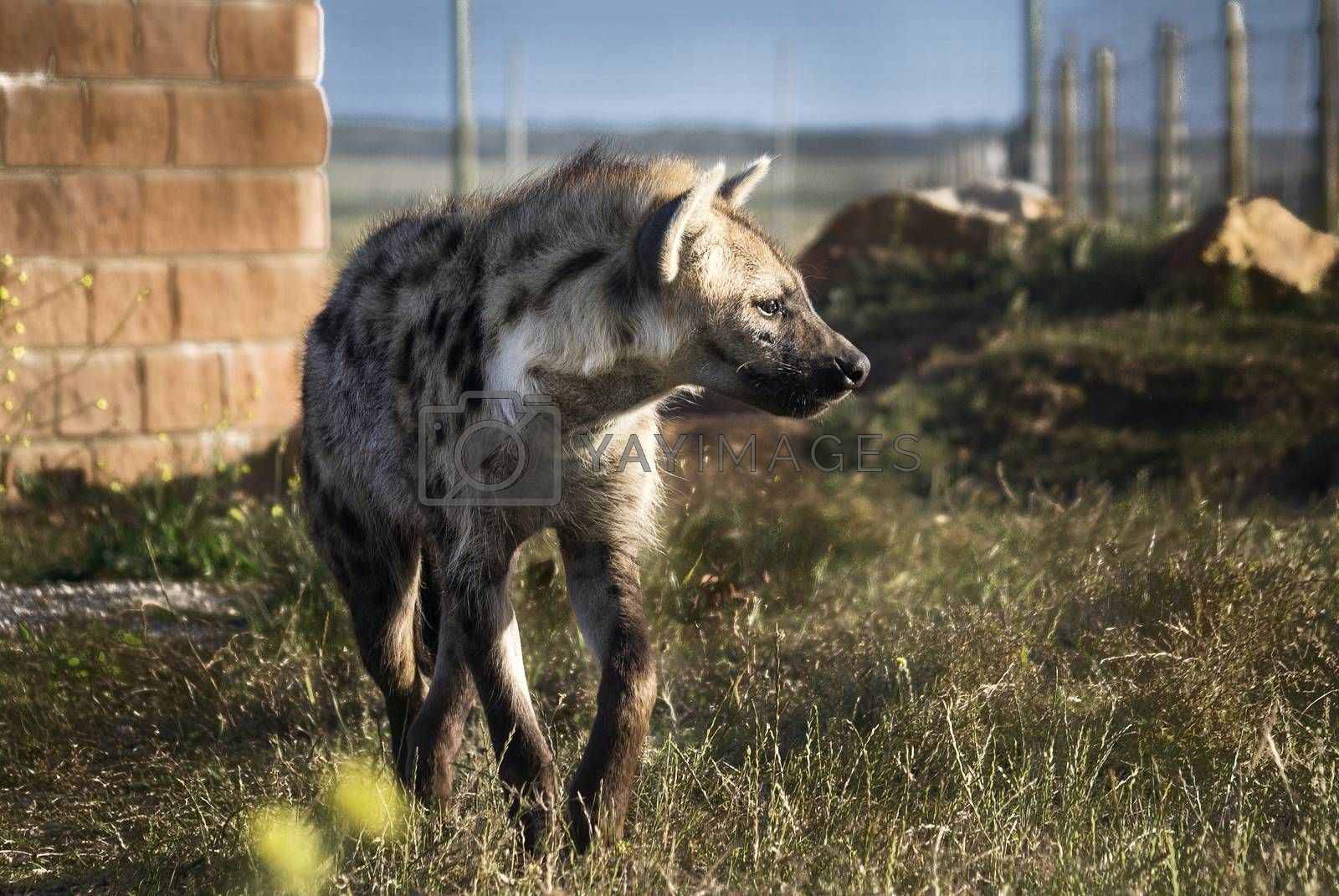 An African painted wild dog (Lycaon pictus) in a wildlife park in South Africa