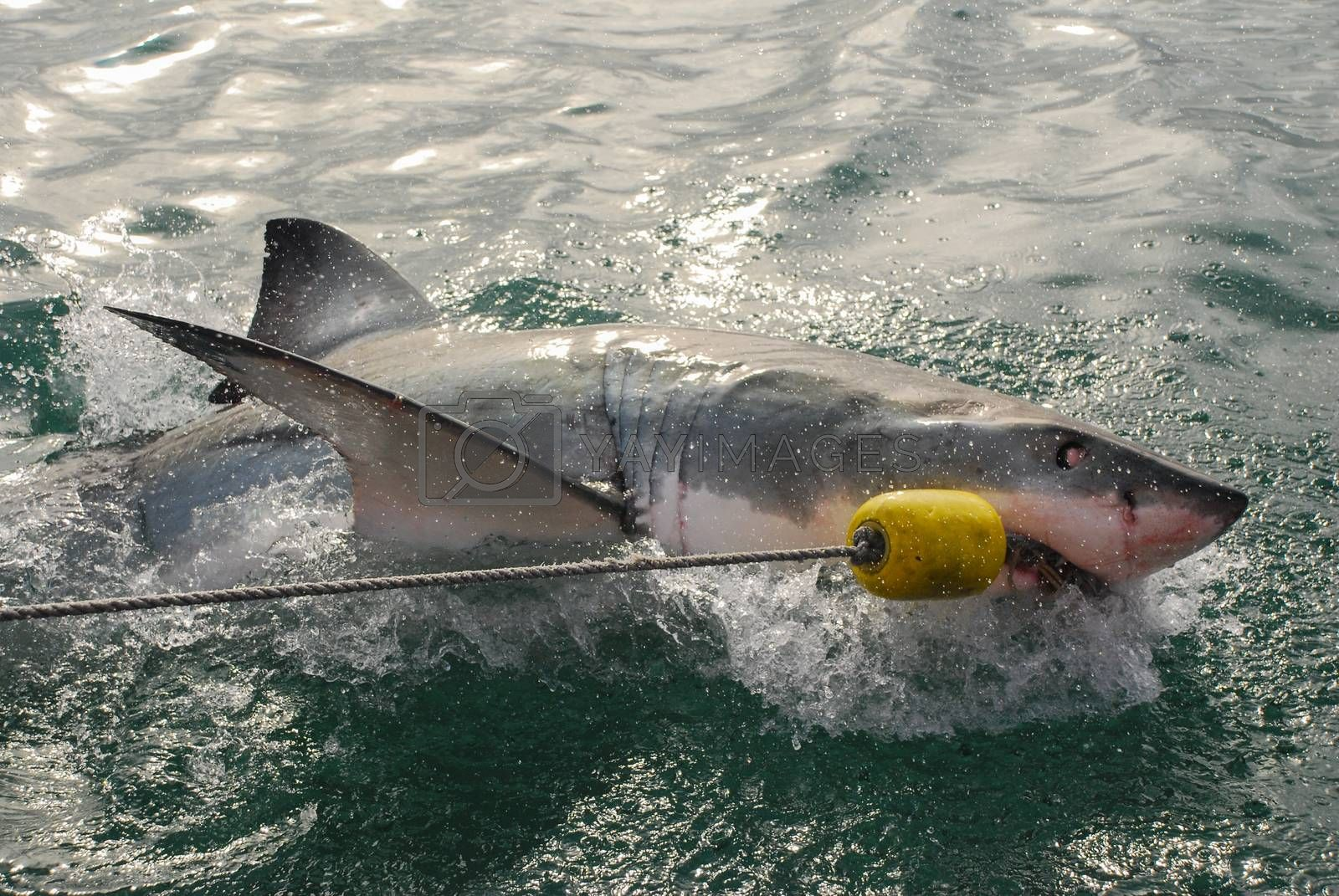 Great white shark (Carcharodon carcharias) by Anna07