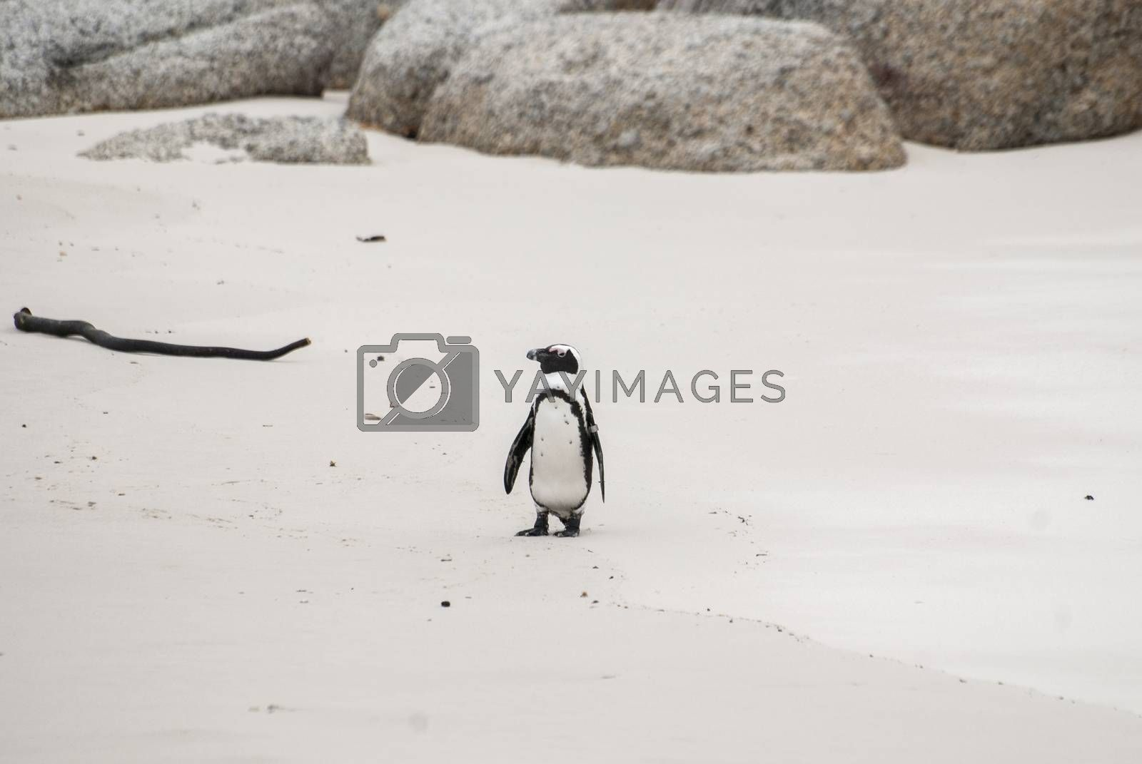 African penguin by Anna07