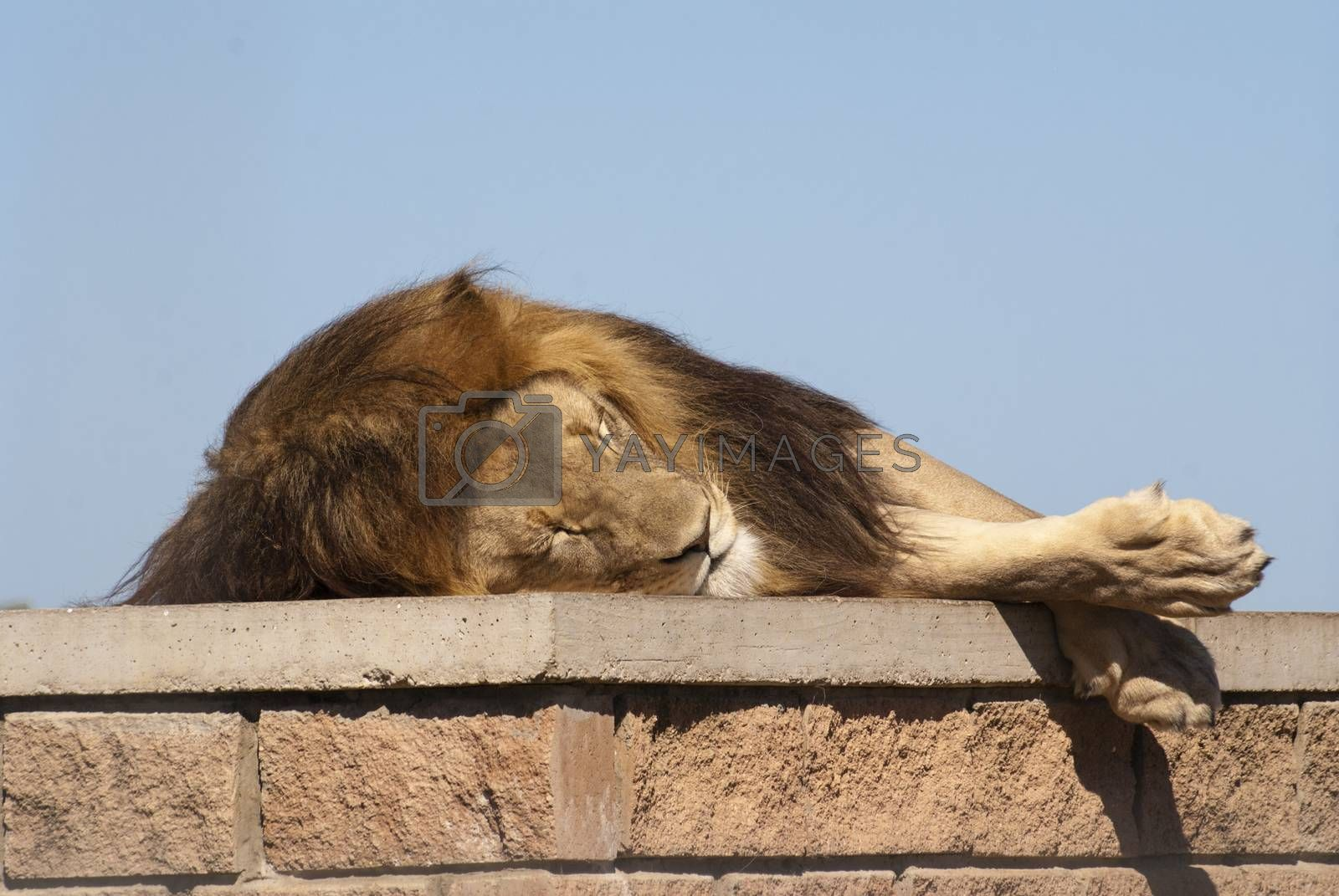 A lion sleeps ontop of a structure in it