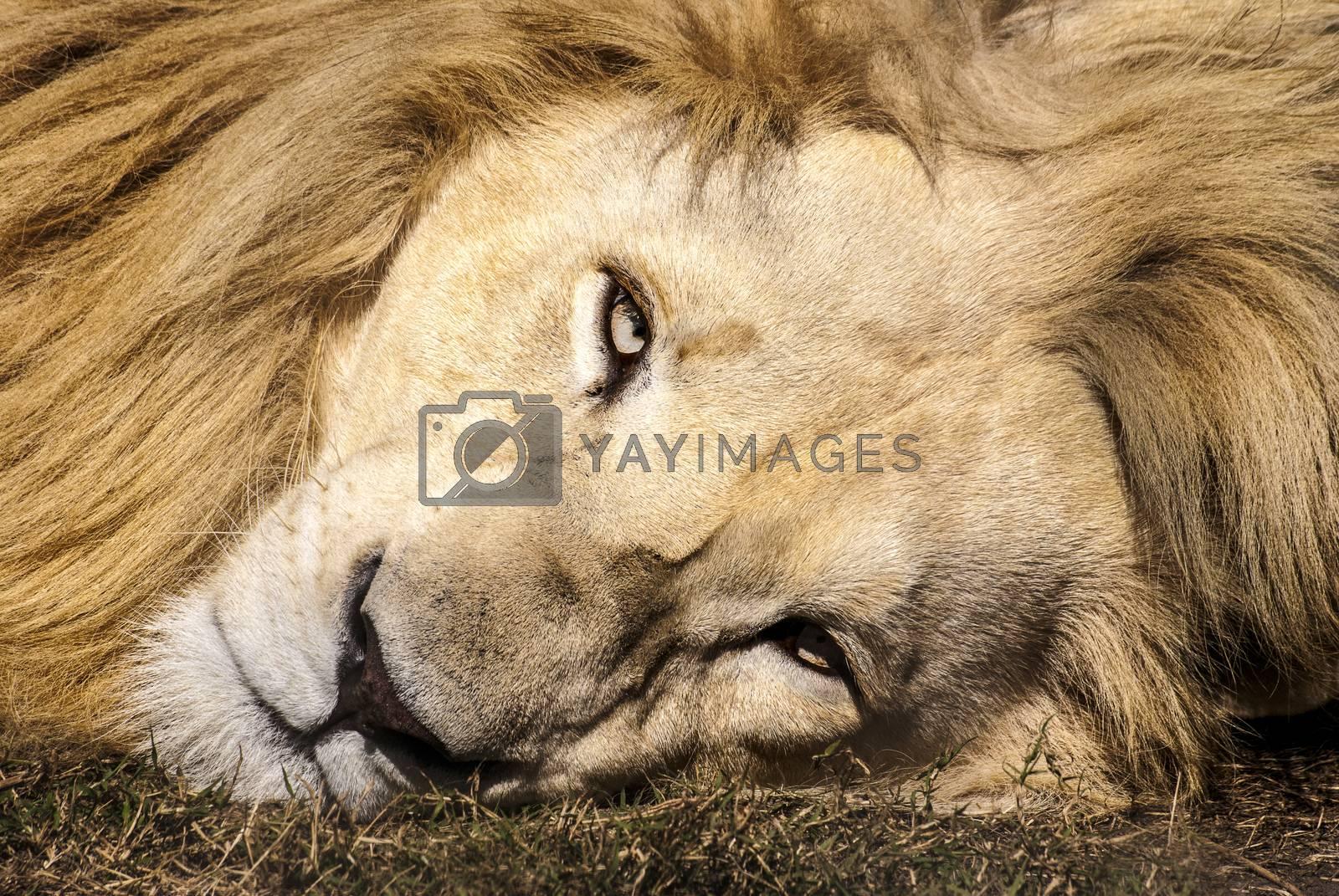 White lion by Anna07