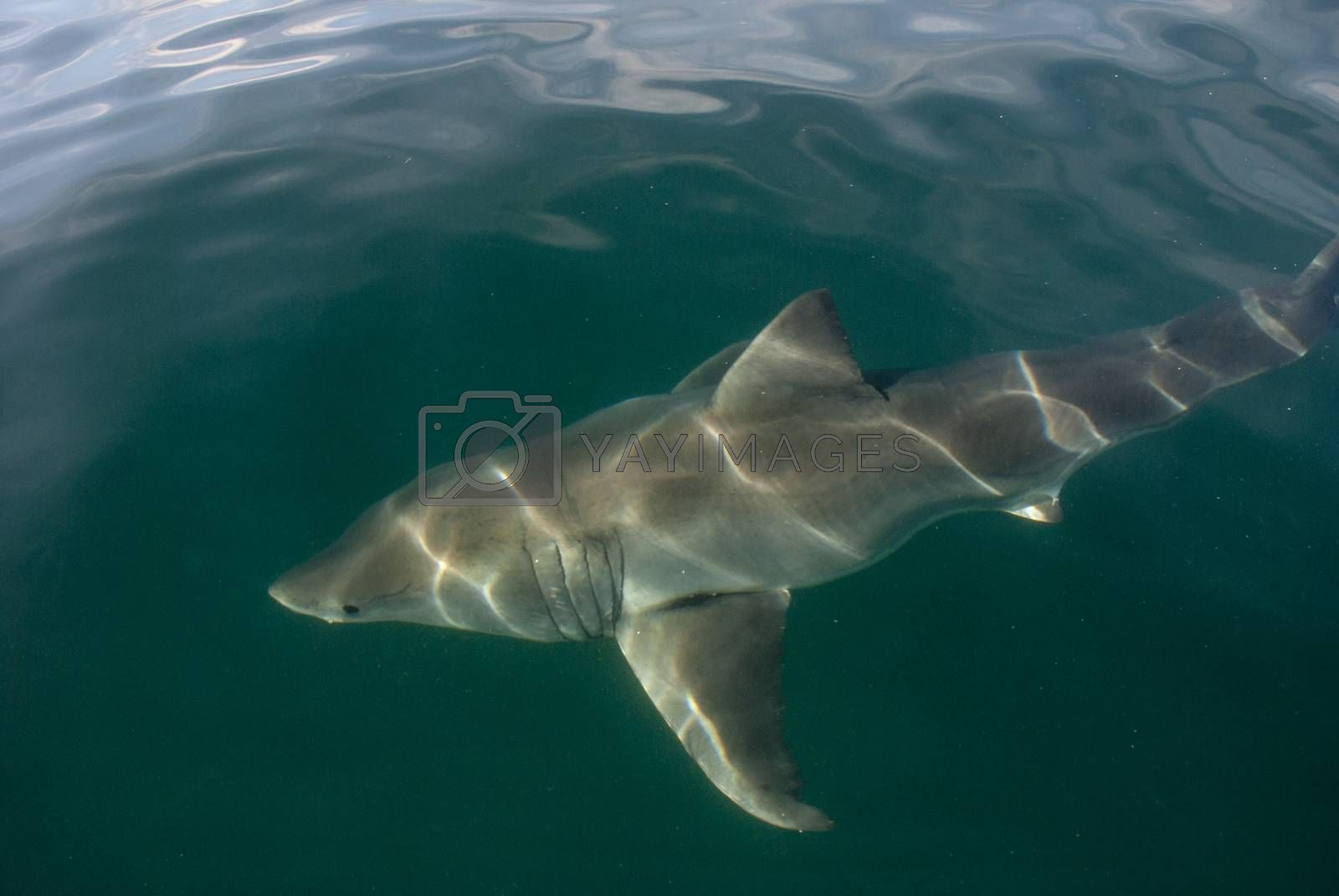 A great white shark underwater in Gansbaai, South Africa